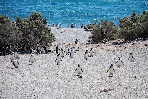 pinguins punta tombo