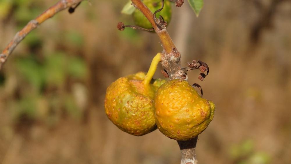 Essa é a mama-cadela, fruto típico do Cerrado. Procurando bem e na estação certo, também dá pra encontrar gabiroba e pequi na Serra de Caldas.